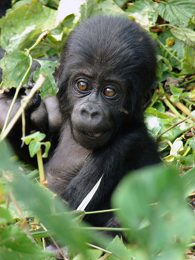 Baby Gorilla, Nkuringo Group, Clouds Mountain Gorilla Lodge, Bwindi, Gorilla Tracking, Uganda Safari