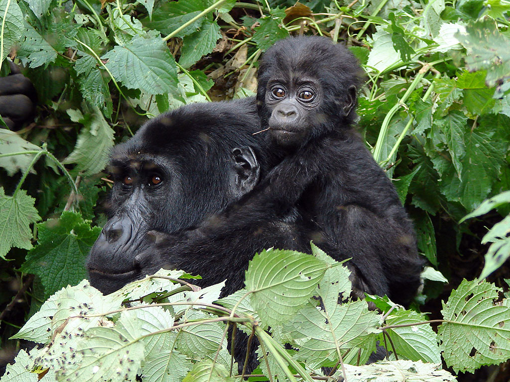 Mother and baby gorilla, Nkuringo Group, Clouds Mountain Gorilla Lodge, Bwindi, Uganda Safari