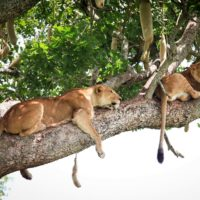Kidepo Lions being Lazy