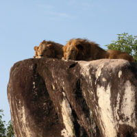 Kidepo Lions Surveying their Domain