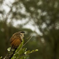 Spreaded Feathers of a Coucal