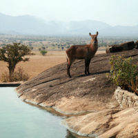 Waterbuck at pool